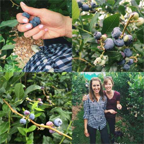 Blueberry Picking at Parlee Farms